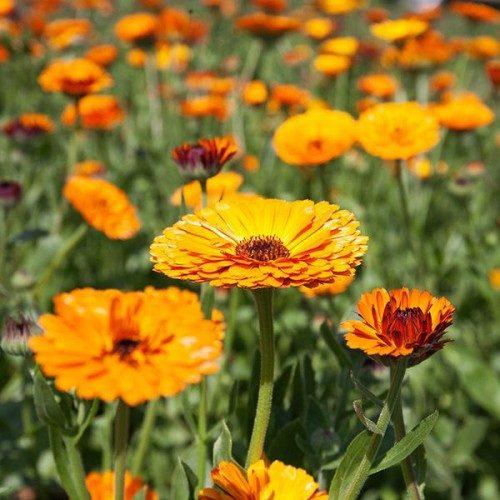 Ziedu eļļa sejai 30ml